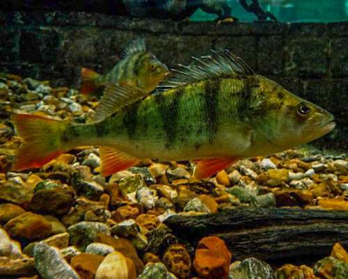 European perch - Perca fluviatilis