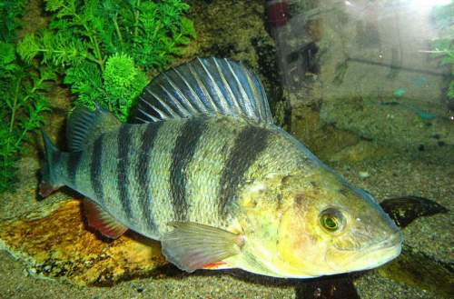 European perch aquarium