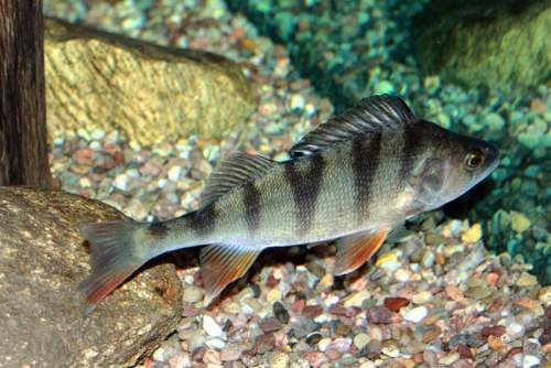 European perch facts