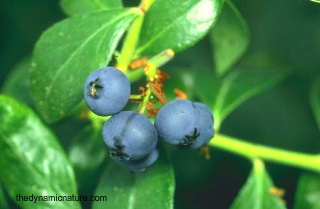 Blueberry is a very rich source of antioxidants.