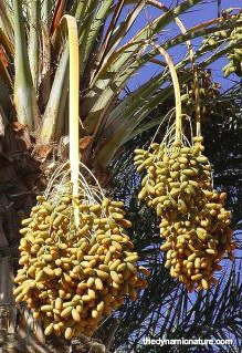 Date fruit is rich in minerals and antioxidants.