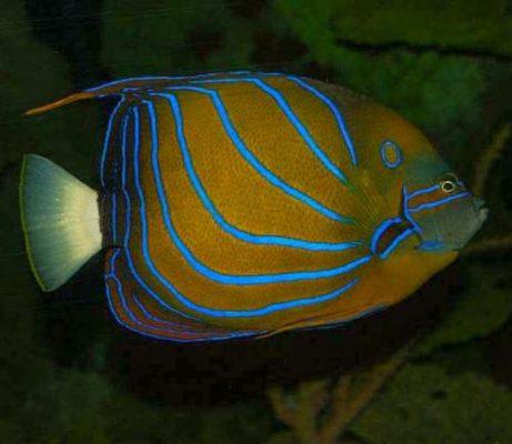 Blue ring angelfish – Pomacanthus annularis