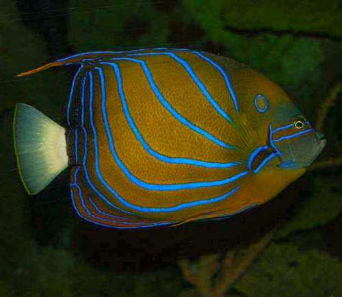 Blue ring angelfish – Pomacanthus annularis