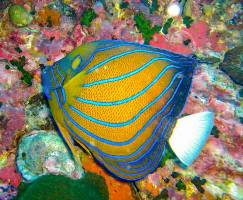 Blue ring angelfish facts