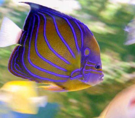 Blue ring angelfish juvenile