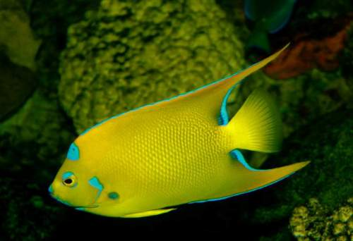 Queen angelfish (Holacanthus ciliaris) facts