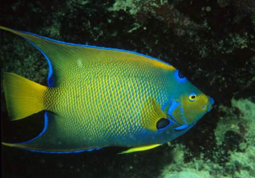 queen angelfish (Holacanthus ciliaris) aquarium care