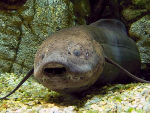 West African lungfish (Protopterus annectens) facts
