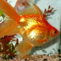 Ornamental Aquarium Fish