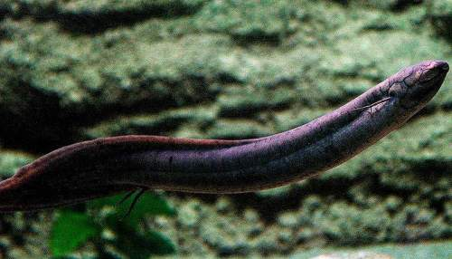 South American lungfish - Lepidosiren paradoxa - facts